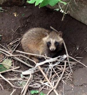 经专家鉴定,这4只小动物是貉,属江苏省重点保护陆生野生动物.